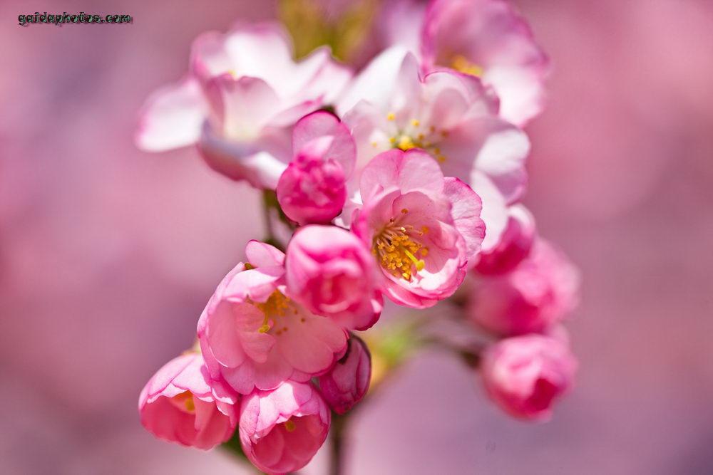 Kirschbluete im Forstbotanischen Garten Koeln