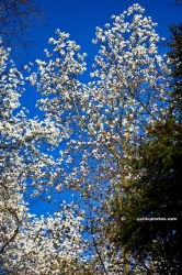 Magnolie im Forstbotanischen Garten Koeln