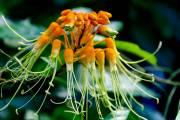 subtropische Blüte