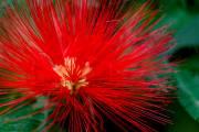 Callistemon Blüte