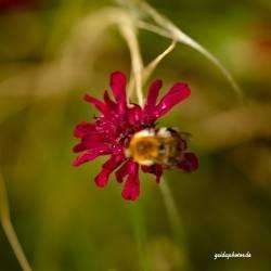 Blüte rot Biene