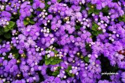 Blüten blau