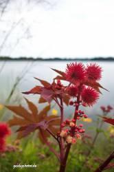 Blume rot stachelig