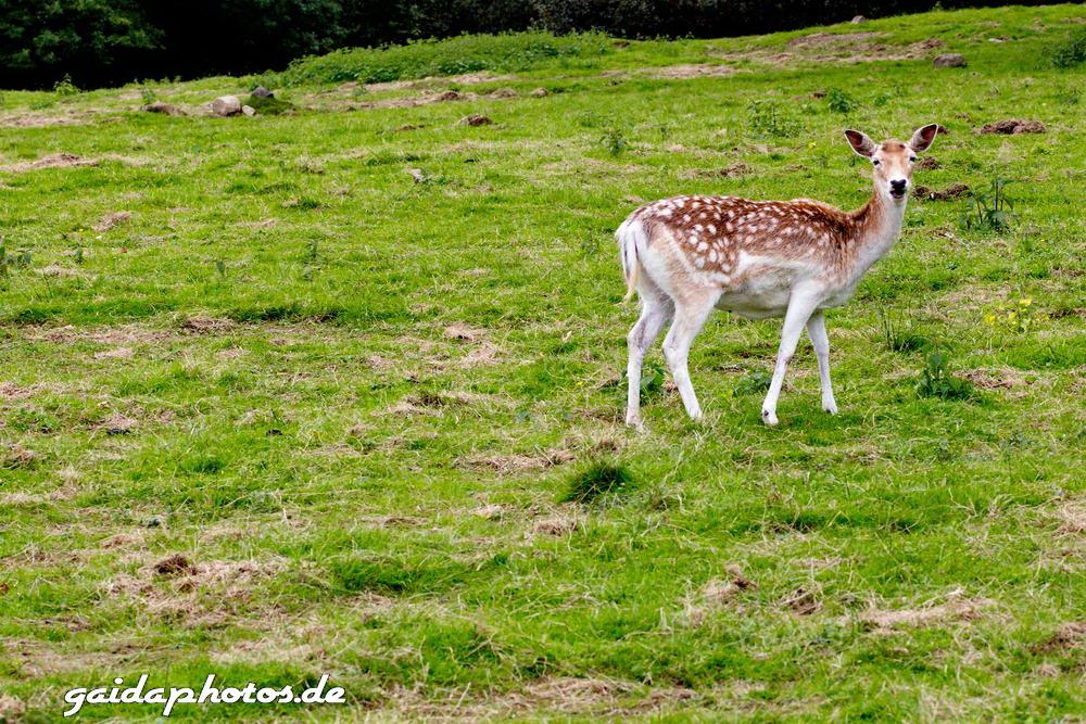 Wildpark Rolandseck, Damwild